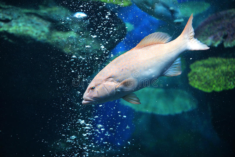 Spot Grouper Fish royalty free stock photos