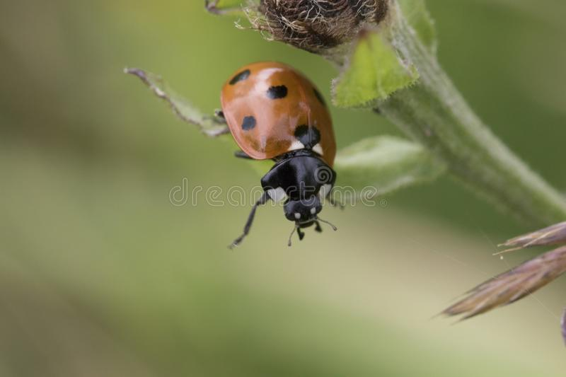 7-spot lady bird portrait. 7-spot lady bird hanging from a leaf royalty free stock images