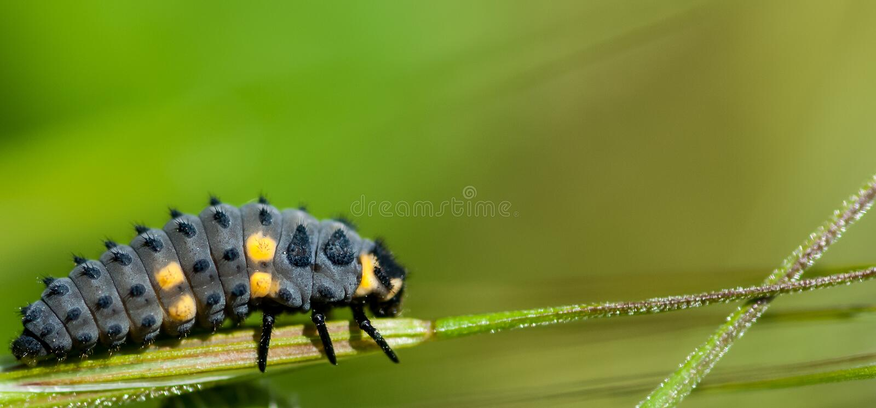 7-spot ladybird larvae royalty free stock photo