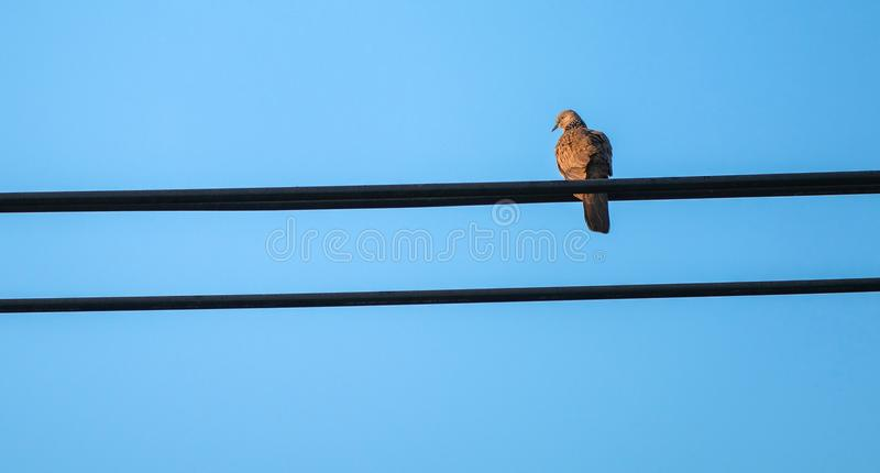 spot-necked turtle dove sitting on a power line stock images