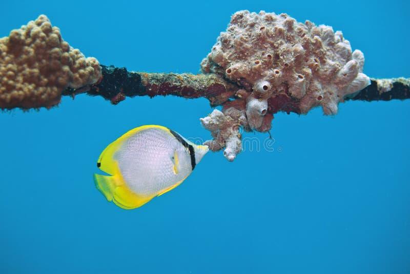 Spotfin Butterflyfish stock photography