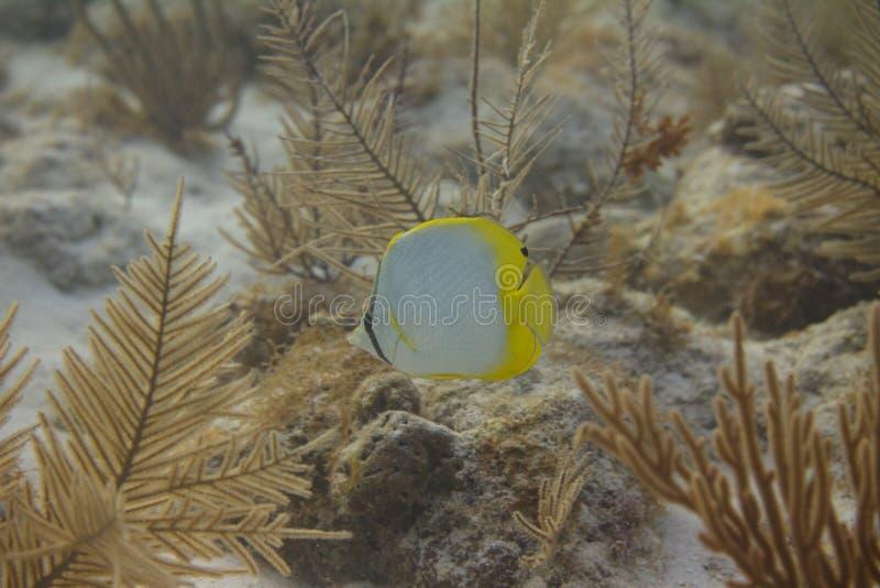 Spotfin-Butterflyfish auf Coral Reef lizenzfreies stockfoto