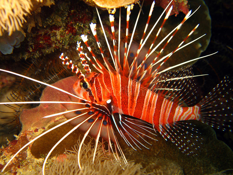 Spotfin Lionfish royalty free stock photo