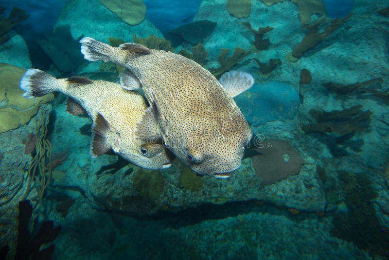 Spotfin porcupinefish stock foto