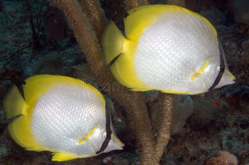 Spotifn Butterflyfish. A pair of Spotfin Butterflyfish-Chaetodon ocellatus stock photo