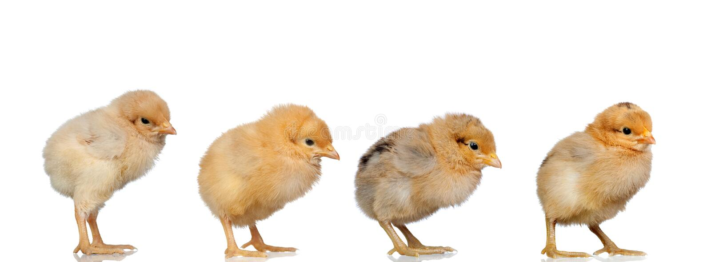 Spotkanie kurczaki przy wielkanocą zdjęcia royalty free