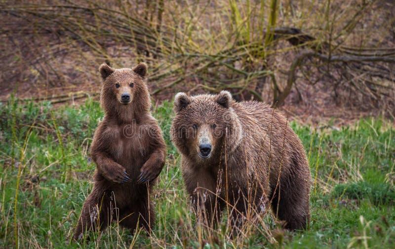 Spotkanie w drewnach Brown niedźwiedzie, Kamchatka obraz royalty free