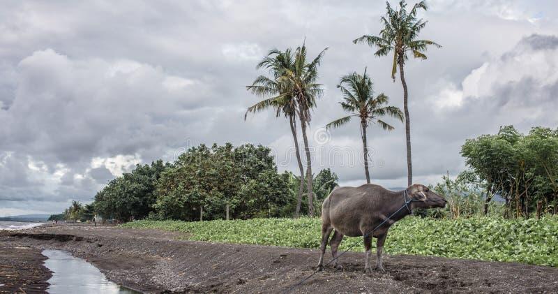 Spotkanie z bizonem na plaży fotografia stock