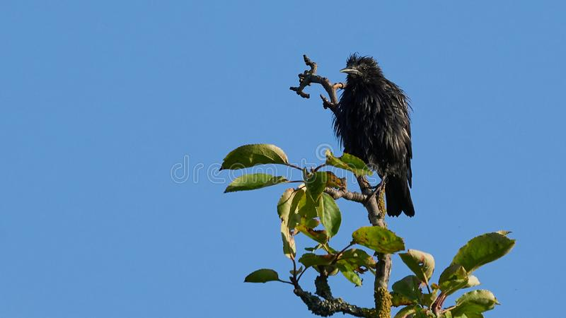 Spotless Starling Perched on a Tree Blue Sky. Spotless Starling Sturnus unicolorPerched on a Tree Blue Sky O Seixo Mugardos Galicia Spain stock image