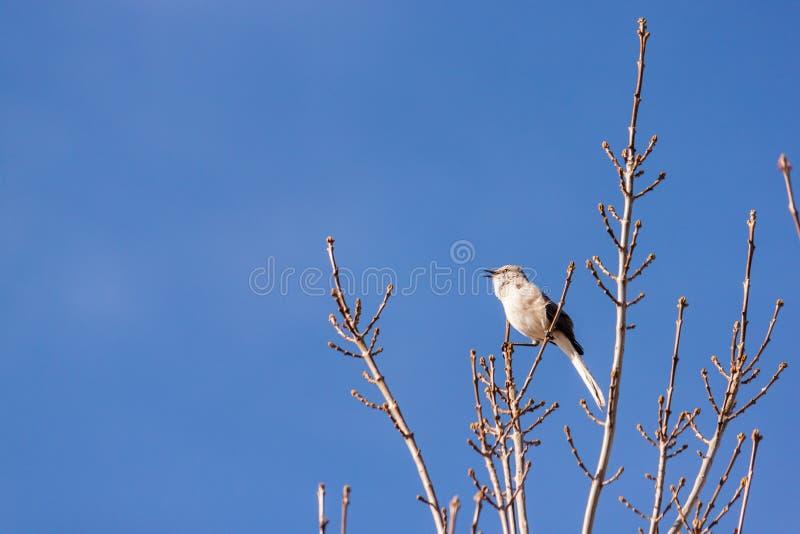 Spotlijster op een boomtakje stock afbeelding