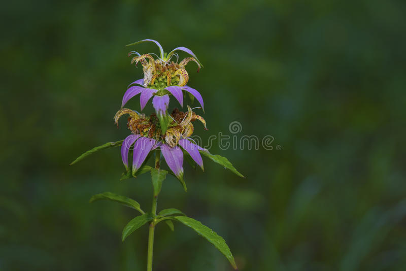Spotted Bee-balm Monarda punctata. In bloom royalty free stock images