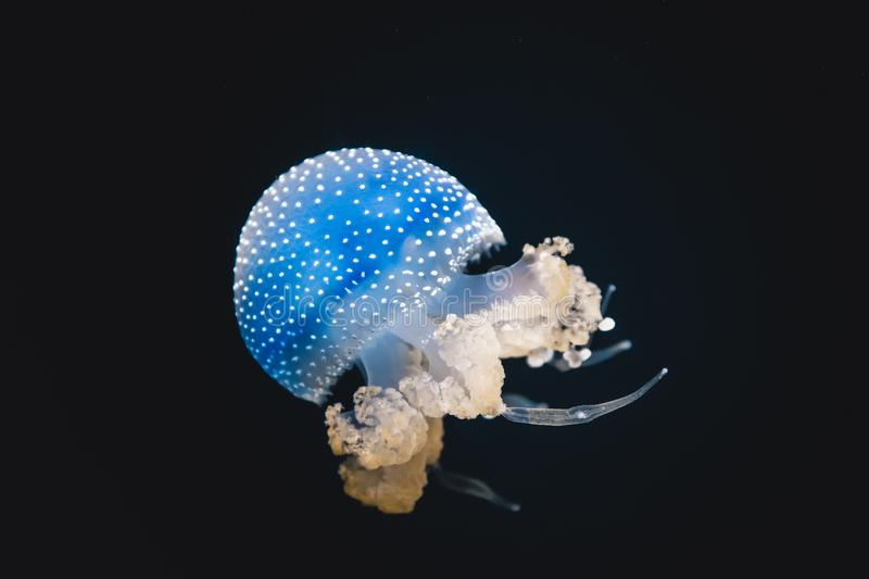 Blue jellyfish swimming in an aquarium tank environment. Spotted blue jellyfish swimming an aquarium tank with orange tentacles. Isolated on black background royalty free stock image