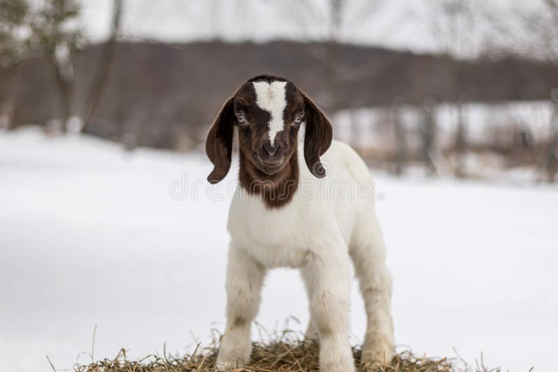 Spotted Boer Goat kid standing on hay bale in winter with snow stock image