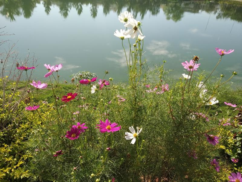Spotted a bunch of colorful flowers by the urban pond and a garden. Clicked it right away. Several colors in a single picture. Water, behind, background royalty free stock photos