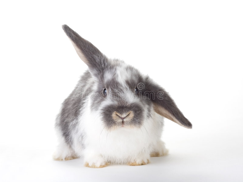 Download Spotted bunny, isolated stock image. Image of young, breeding - 8637969