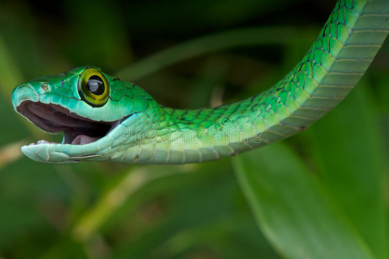 Spotted bush snake. The Spotted Bush Snake (Philothamnus semivariegatus) is a non-venomous snake in the family Colubridae, distributed from South Africa to Sudan royalty free stock images