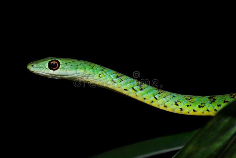 Spotted bush snake portrait. Portrait of a spotted bush snake Philothamnus semivariegatus, South Africa royalty free stock photography