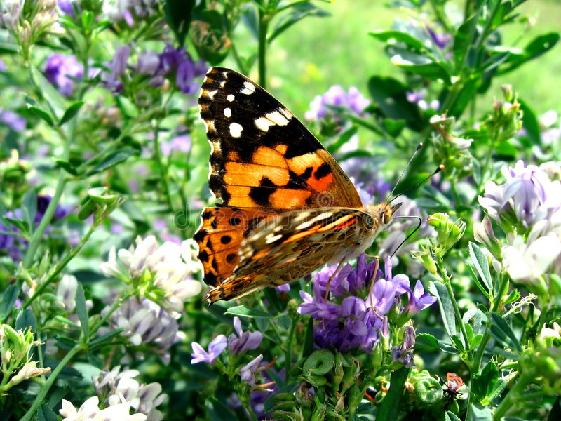 Spotted butterfly among blooms royalty free stock image