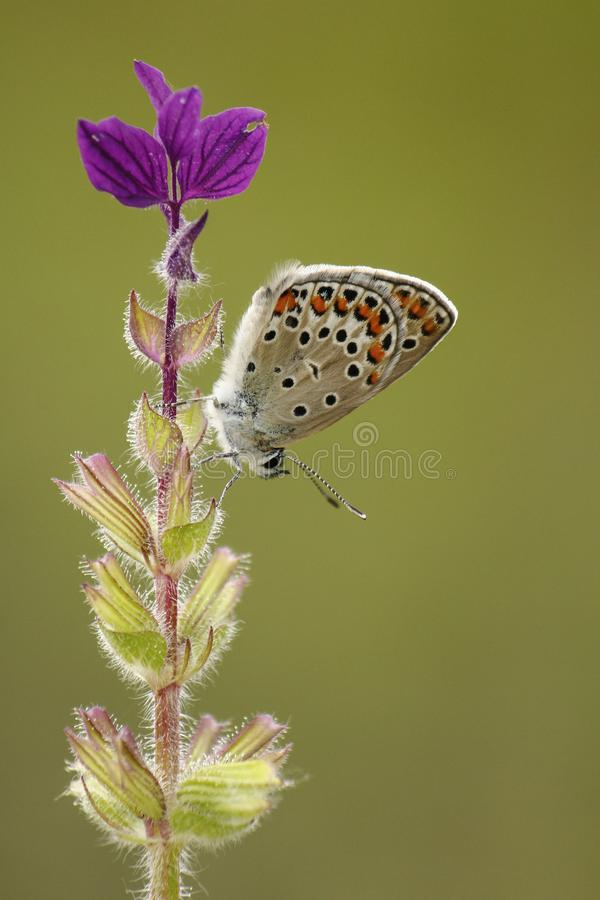 Spotted Butterfly on Purple Flowers stock images