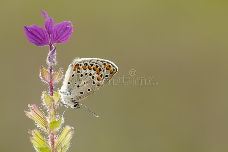 Spotted Butterfly on Purple Flowers royalty free stock photography