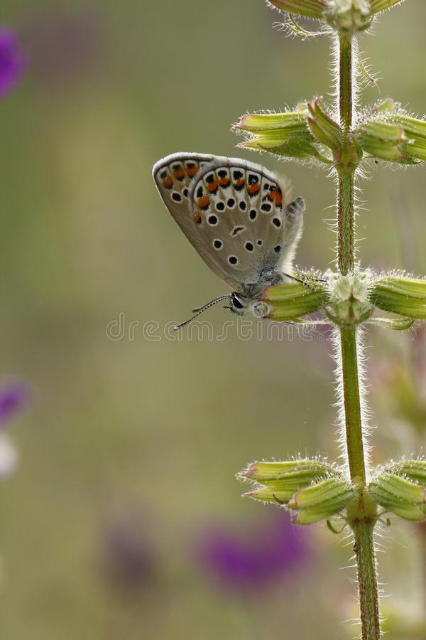 Spotted Butterfly on Purple Flowers stock image
