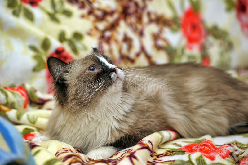 Spotted cat. Brown spotted cat with blue eyes stock photography
