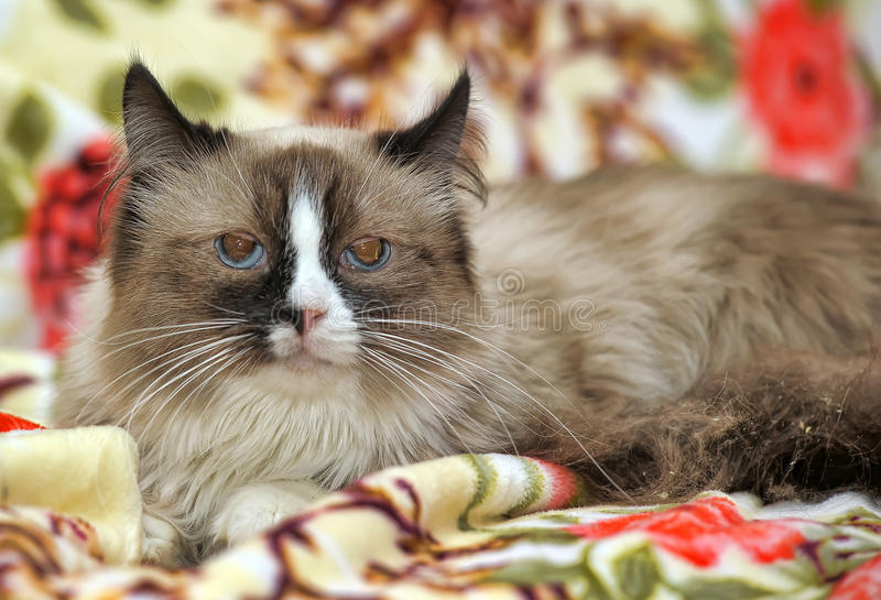 Spotted cat. Brown spotted cat with blue eyes stock images