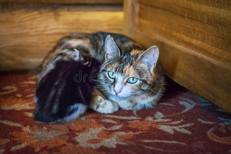Spotted cat mom and black kitten royalty free stock image