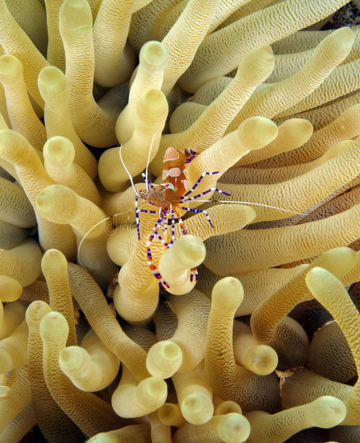 Download Spotted Cleaner Shrimp (periclimenes Yucatanicus) Stock Photo - Image: 4778440
