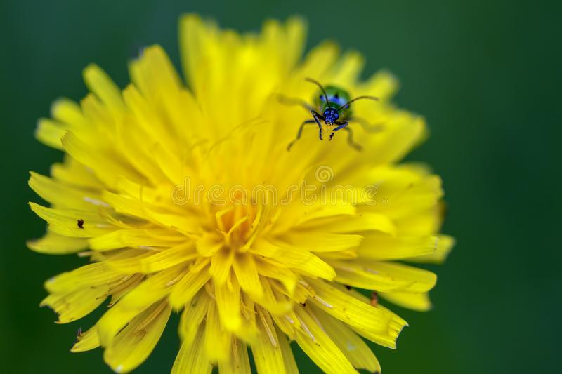 Spotted cucumber beetle on a dandelion flower stock photos