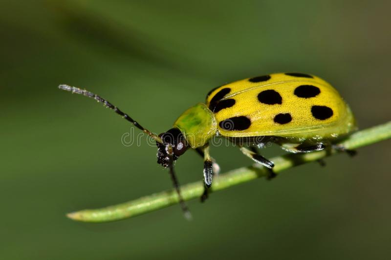 Spotted Cucumber Beetle on a pine needle. stock image