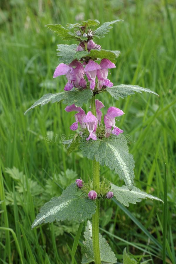 Spotted dead-nettle stock image