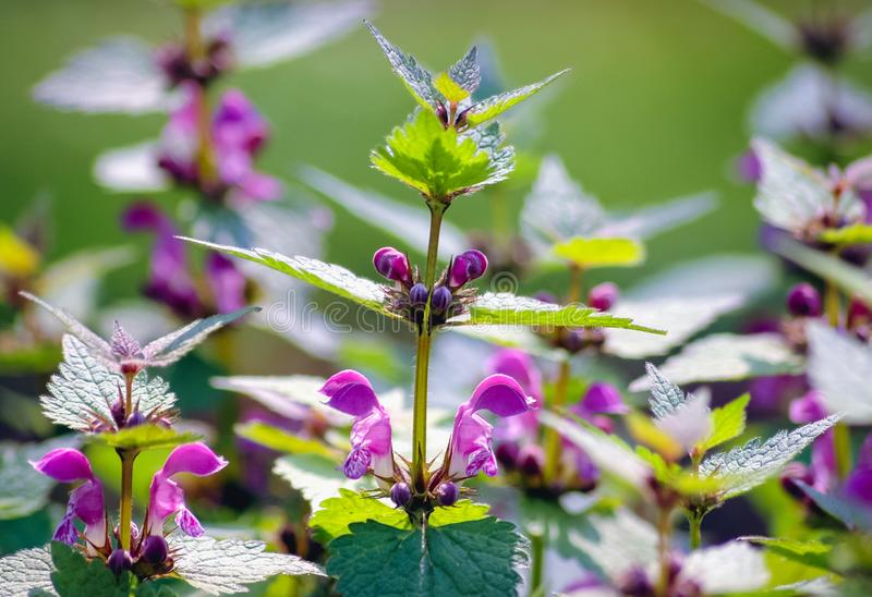 Spotted dead nettle royalty free stock images