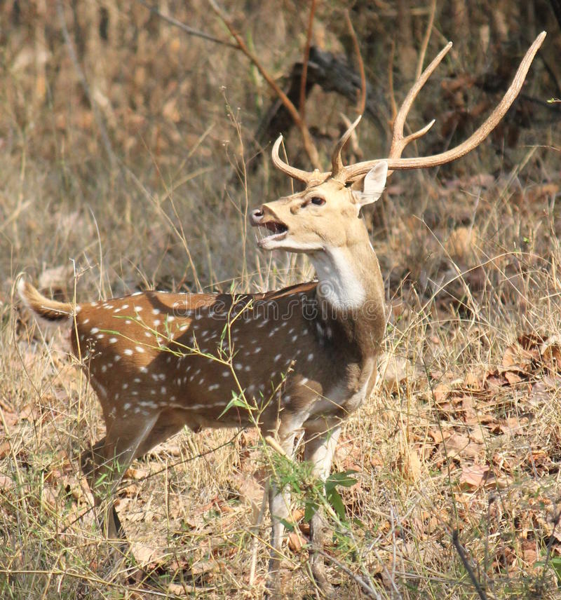 Spotted deer at Bandhavgarh National Park. The chital or cheetal (Axis axis), also known as chital deer, spotted deer or axis deer is a deer which commonly royalty free stock image