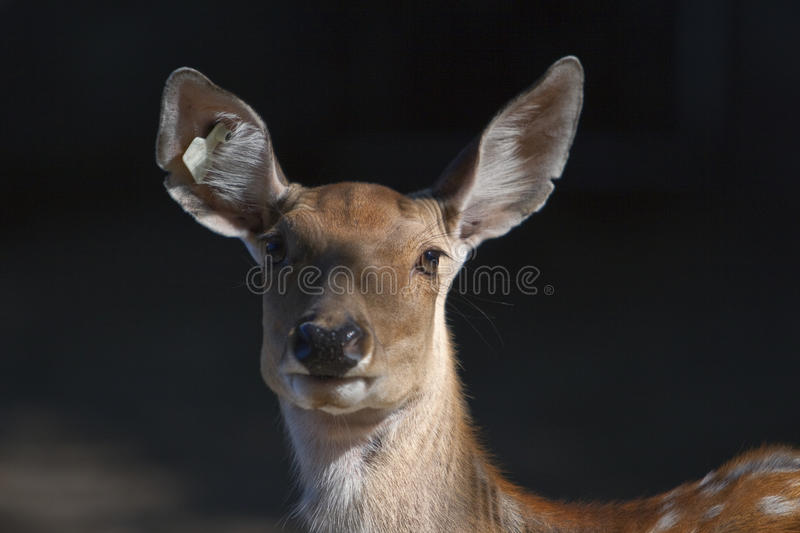 Spotted deer royalty free stock images