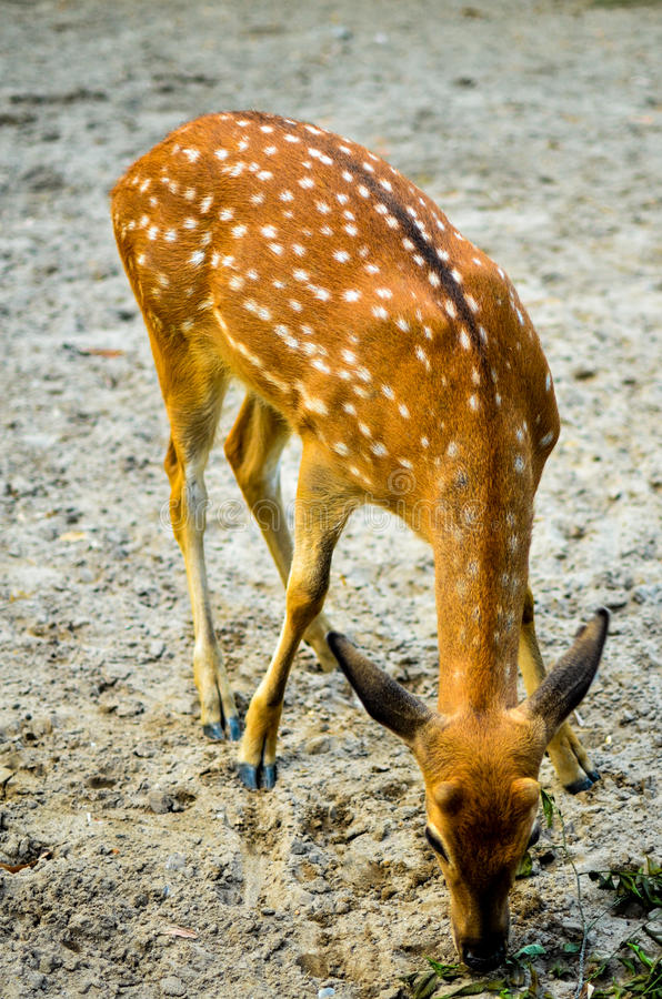 Spotted deer stock image