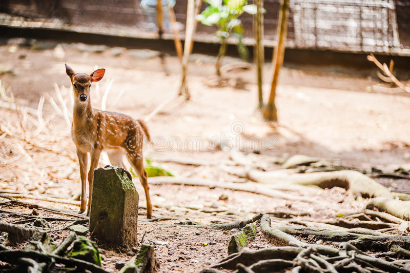 Download Spotted Deer stock image. Image of captivity, fence, resting - 27700793