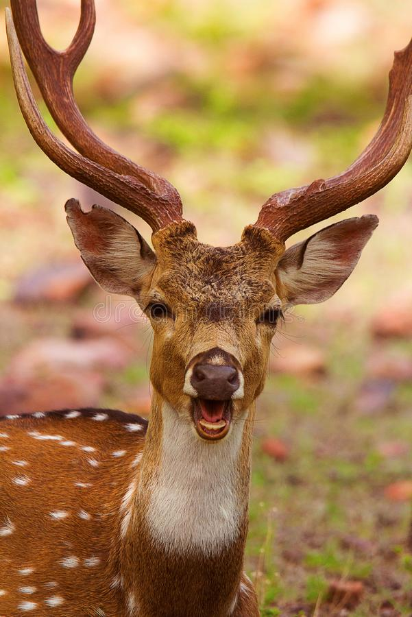 Spotted Deer, Axis axis, Bandhavgarh Tiger Reserve. Madhya Pradesh India stock photography