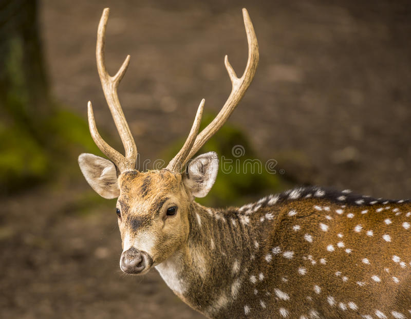 Spotted deer buck portrait image stock photo