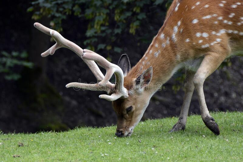 Spotted Deer Eating Grass on Green Grass at Daytime stock photos