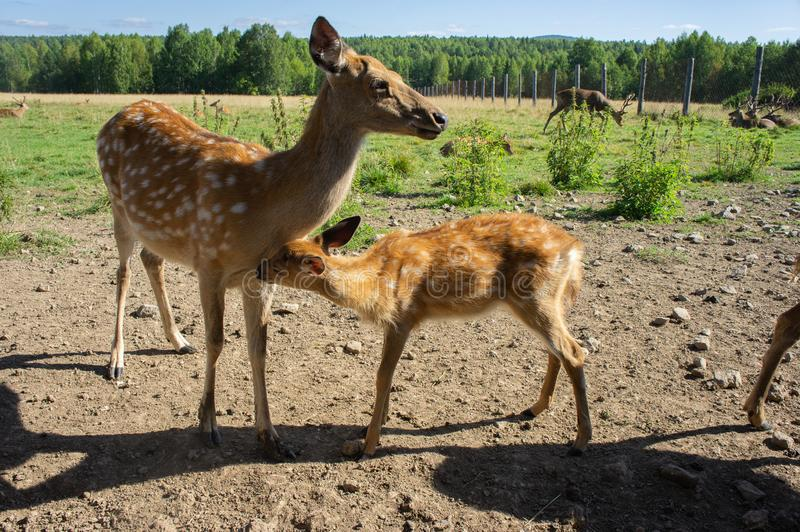 Spotted deer, female with a cub. Breeding deer in captivity. stock photos