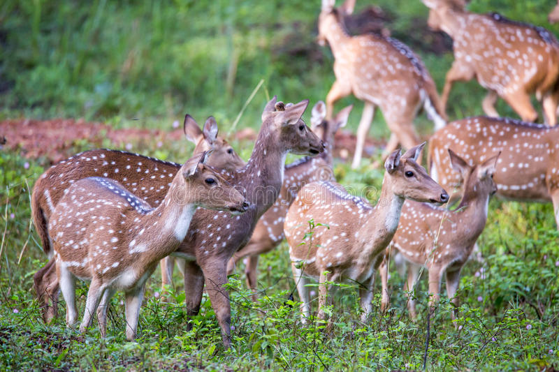 Spotted deer gang. Canon 6D f4 1/2500 ISO 500 400mm Spotted deers(Axis deer) sighted in the forests of South India royalty free stock image