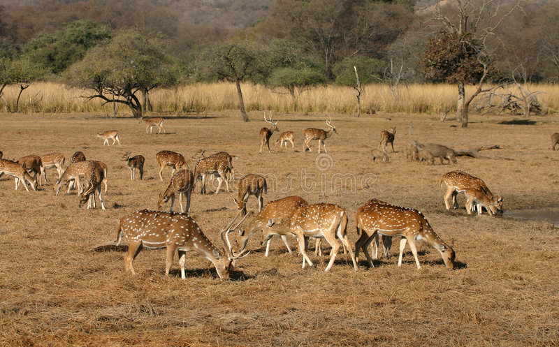 Spotted deer herd royalty free stock image