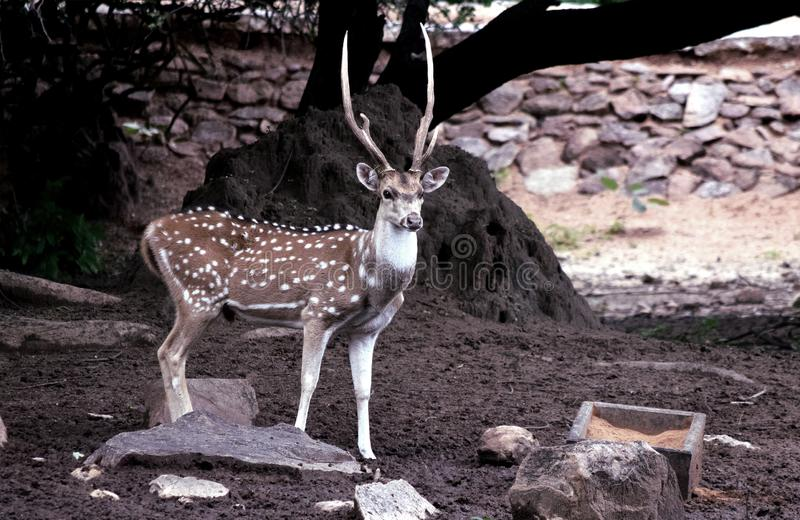 Spotted deer Indian cheetal stock photography