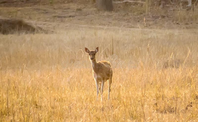 Spotted Deer In Morning Light Bandhavgarh-India. Spotted Deer In Morning Light In Meadows at Bandhavgarh National Park. Spotted Deer Looking in Camera stock image