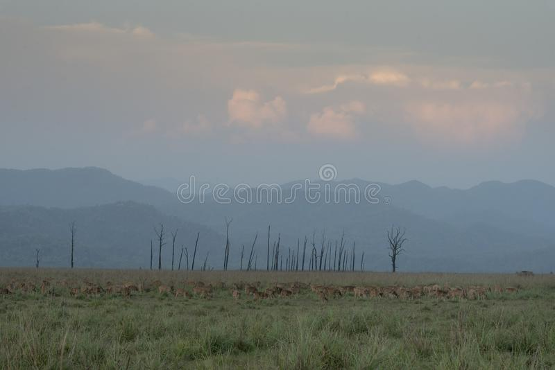Spotted deer pack in dhikala grassland stock images