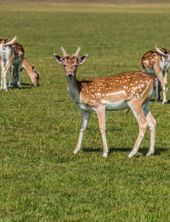 Spotted Deer at Richmond Park, UK, England. royalty free stock photo