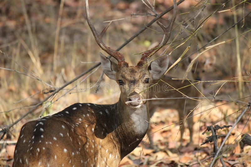 Spotted deer stag at Bandhavgarh National Park, In. The Axis axis, also known as chital deer in india is a deer which commonly inhabits wooded regions of India stock photography