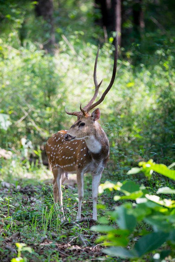Spotted deer stag in habitat. Canon 6D f4 1/2500 ISO 500 400mm Spotted deers(Axis deer) sighted in the forests of South India royalty free stock photo