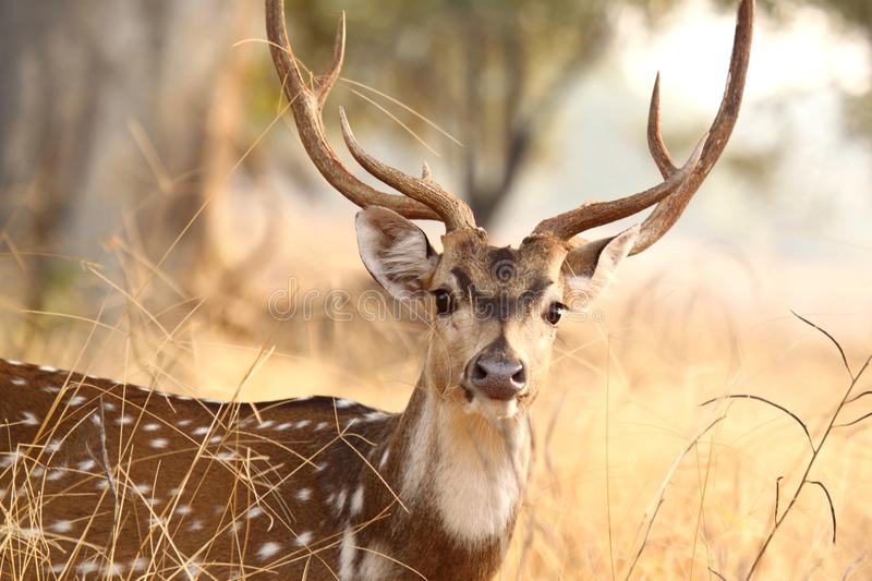 Spotted deer at Tadoba Tiger Reserve stock photo